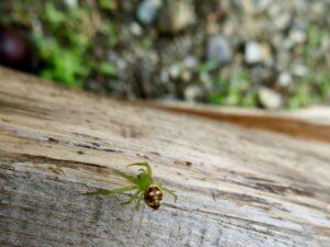 髑髏のモンモンを背負った蜘蛛