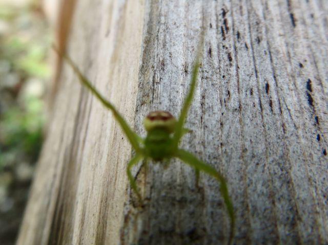 威嚇する蜘蛛